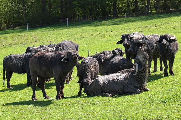 Italienische Wasserbüffel; Zintlhof;